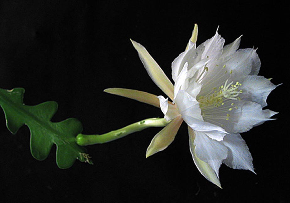 Queen of the Night - Epiphyllum oxypetalum.
