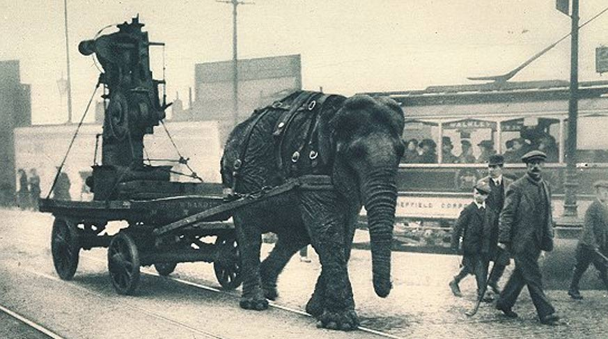 As recently as World War I elephants were used to draw heavy machinery or ordinance. This one worked in a munitions yard in Sheffield, England.