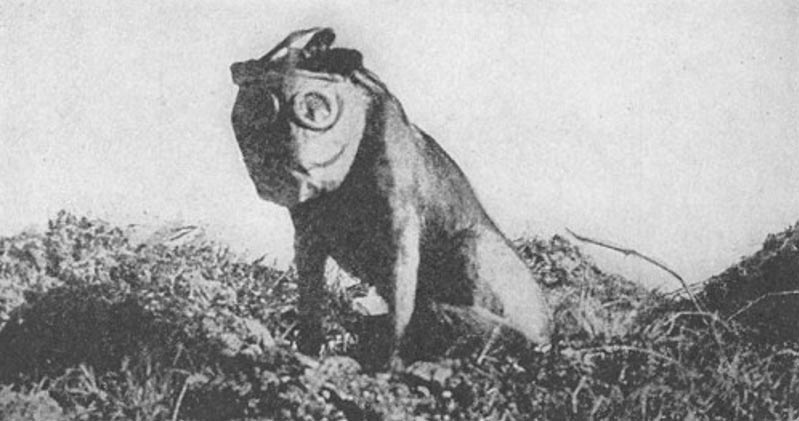 A dog employed by the Sanitary Corps during World War I to locate wounded soldiers. It is fitted with a gas mask.