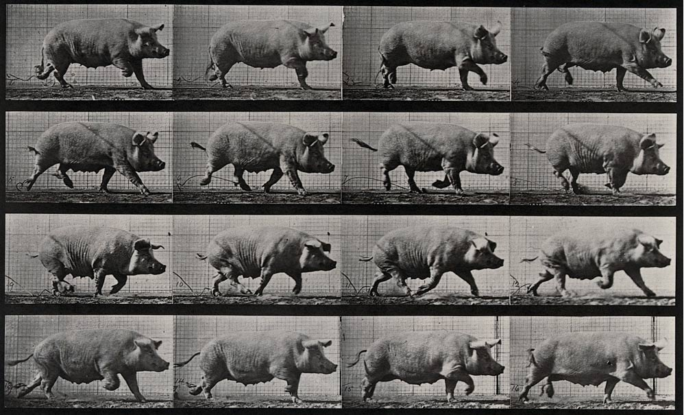 The pig, an unlikely weapon of war. [This file comes from Wellcome Images, a website operated by Wellcome Trust, a global charitable foundation based in the United Kingdom.